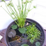 Whats Ur Home Story: Container Water garden, papyrus , blue moneywort, grow water lily on the deck