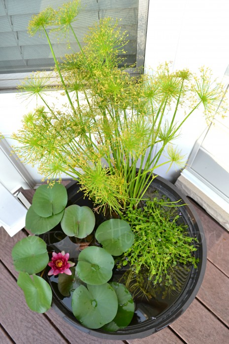 How to grow water lilies on your deck whats ur home story for How to water a garden