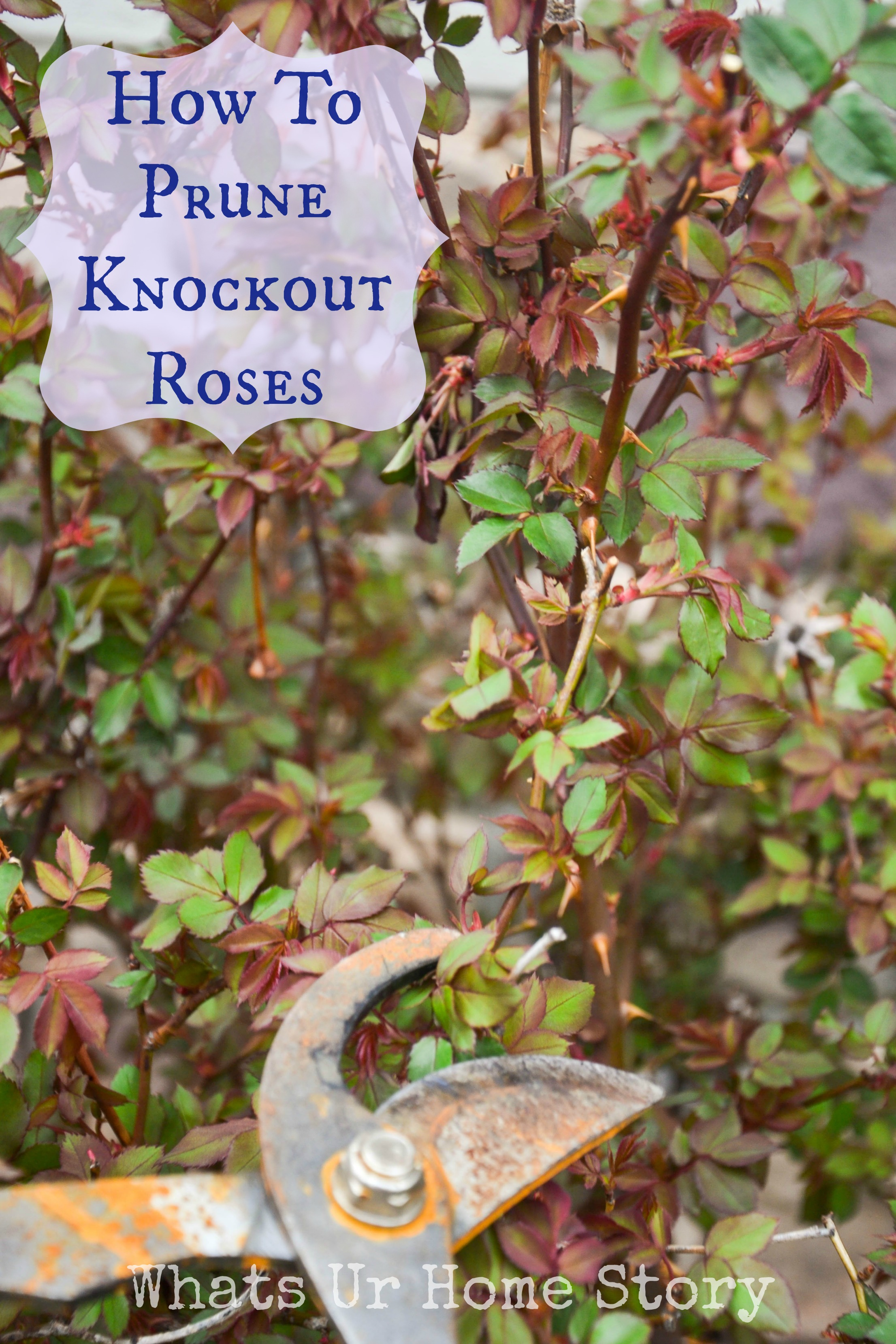 Pruning Knockout Roses Whats Ur Home Story