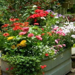 annuals in a tub