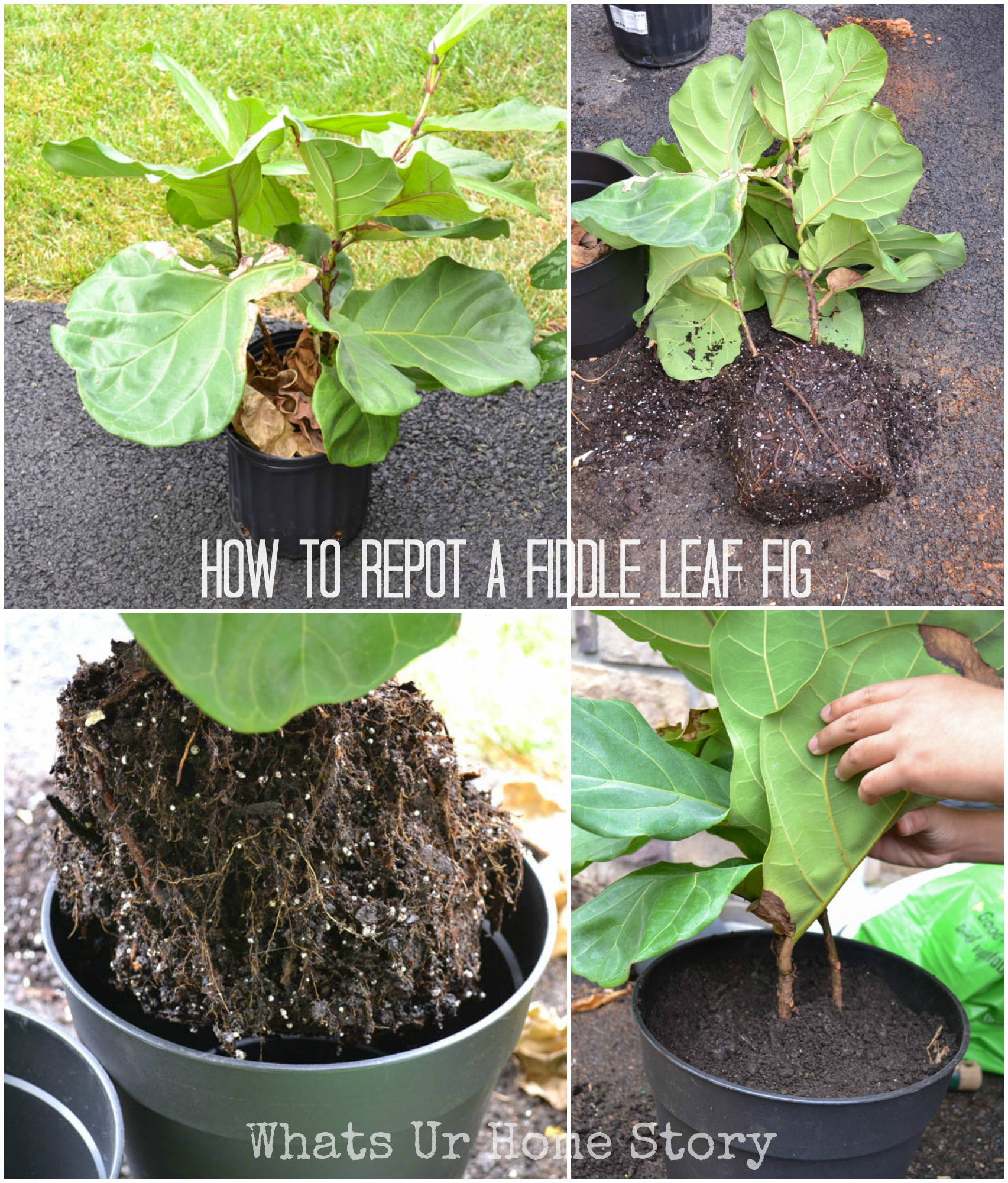 how to make plant leaves shiny naturally