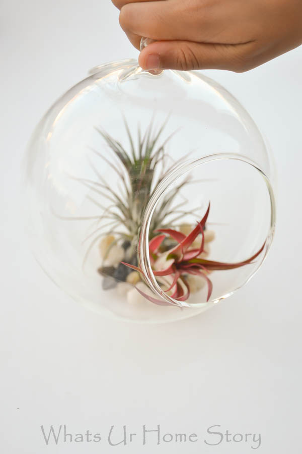 DIY Terrarium with Air Plants