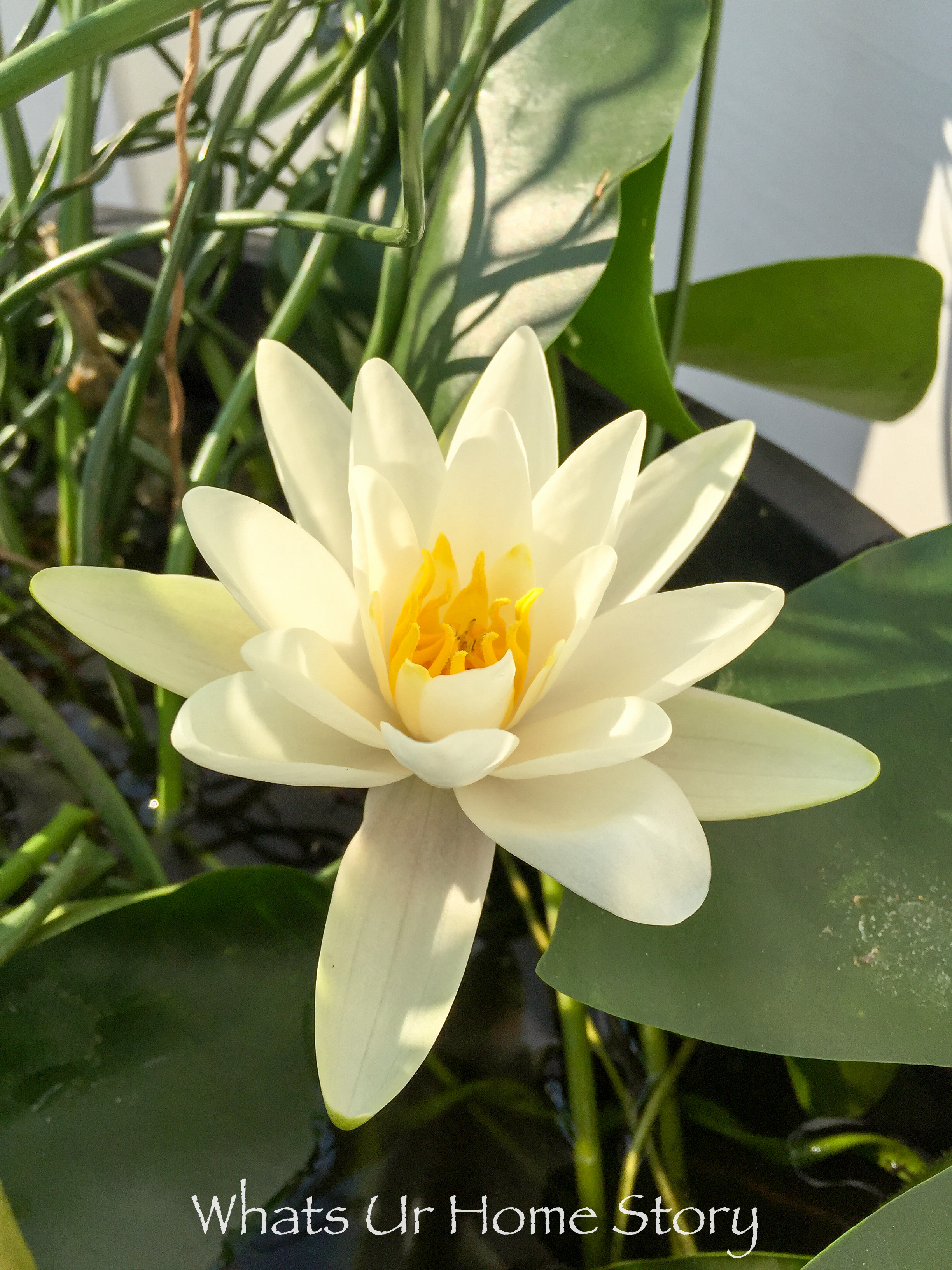 A water lily trademark first harvest and a lot more whats ur a water lily trademark first harvest and a lot more whats ur home story dhlflorist Images