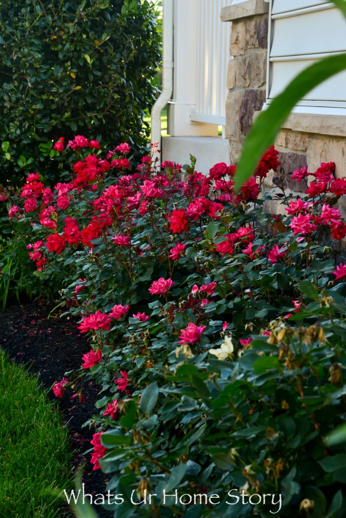 Rose Rosette Disease & Treatment