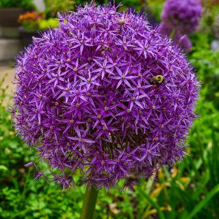Spring garden -Giant Alliums