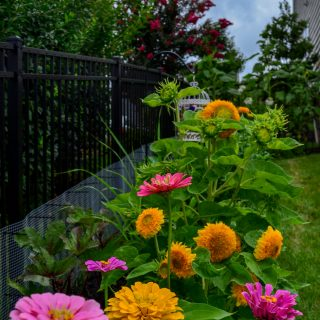 Cottage garden bed with colorful zinnias, teddybear sunflowers, okra, and lemon grass