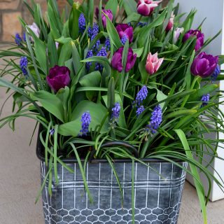 Bulb Lasagna planter with purple tulips and muscari or grape hyacinth in a galvanized tub planter -royal acres tulip from long field gardens