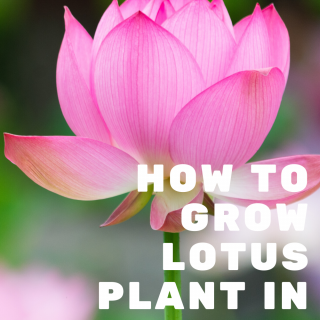 Unboxing and Planting Lotus Tubers from Bergen Water Gardens - How to Grow Lotus Plant in Small Pot