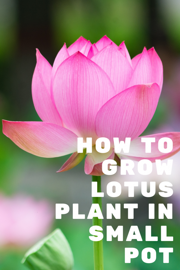 How to Grow a Lotus Plant in a Small Pot