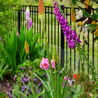 long spike-y plants in the cottage garden bed with penstemon, foxgloves, red hot poker, peony, spanish lavender, oriental poppy, allium
