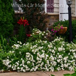 White Drift Rose hedge