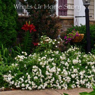 White Drift Rose hedge