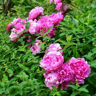 pink peony -Spring Garden Tour 2020