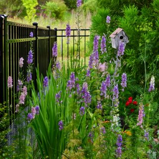 Larkspur blooming in cottage garden - June Garden Tour 2020