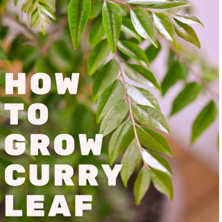 How to Grow Curry leaf in a Pot