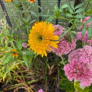 Fall garden flowers - mission giant yellow marigold and sedum autumn joy