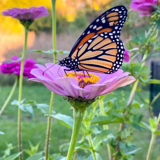 Pink-zinnia-and-monarch-butterfly