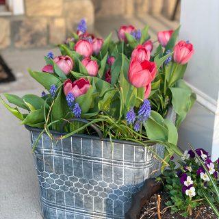 beautiful tulip planter-tulip and muscari